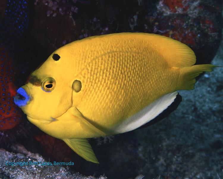 Three-Spot Angelfish 3