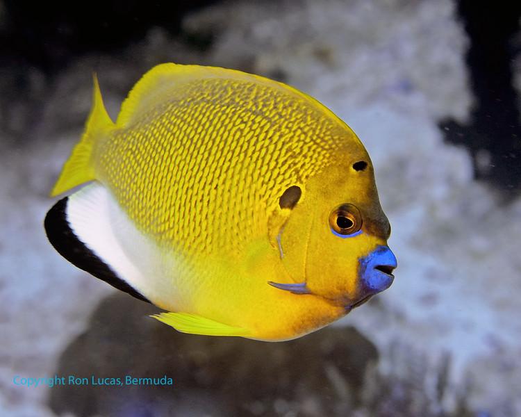 Three-Spot Angelfish 2