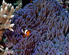 False Clown Anemonefish 7