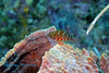 Thread fin Hawkfish 3