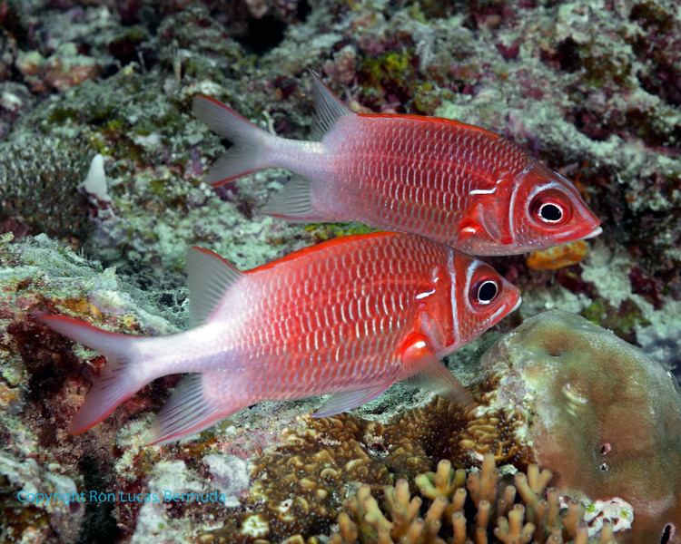 Tailspot Squirrelfish 1