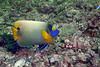 Yellow-Mask Angelfish 3