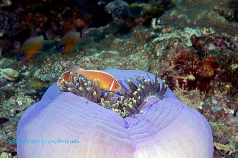 Pink Anemonefish 3