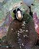 Clarke's Anemonefish 5