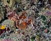 Tassled Scorpionfish 2