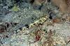 Lizardfish 1