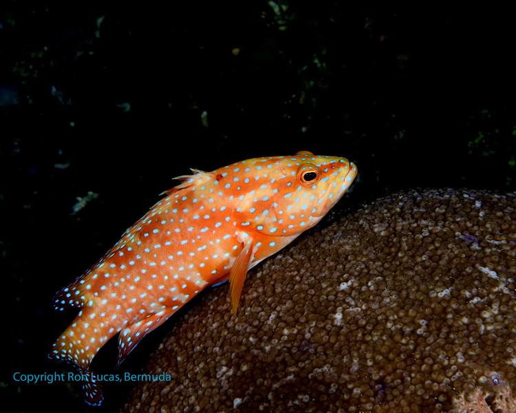 Coral Grouper 2