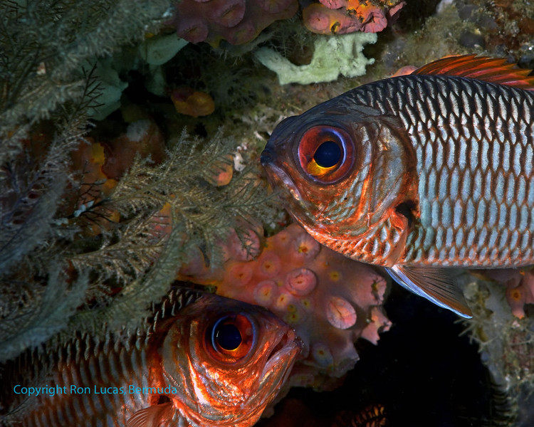 Soldierfish 1