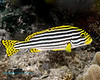 Oriental Sweetlips 1