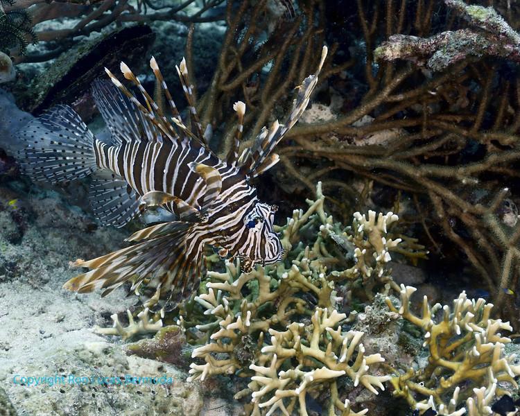 Common Lionfish 5