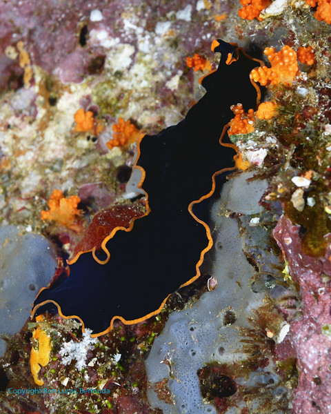 Glorious Flatworm 1