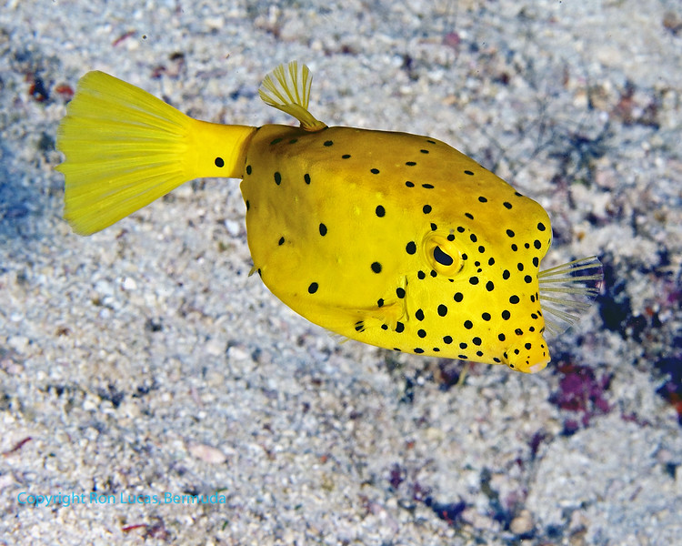 Yellow Boxfish Juv 1