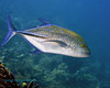 Bluefin Trevally 1