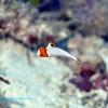 Bicolor Parrotfish Juvenile