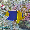 Bi-Color Angelfish