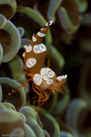 Ambon shrimp