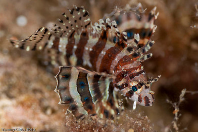 Baby lionfish