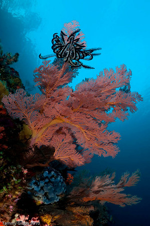 Gorgonian fan and crinoid