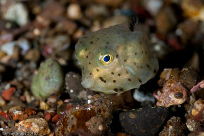A tiny boxfish