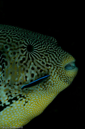 Map pufferfish and Bluestreak cleaner wrasse
