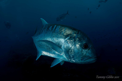 Giant trevally on the Liberty wreck