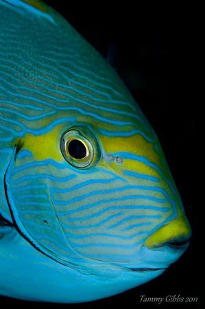 Pale surgeonfish