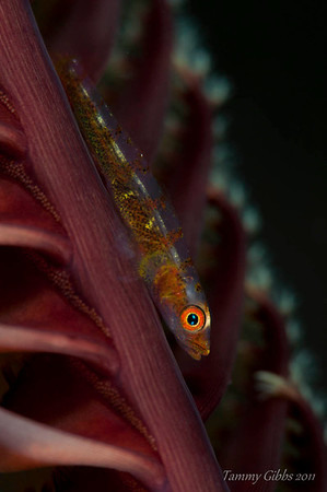 Goby on seapen