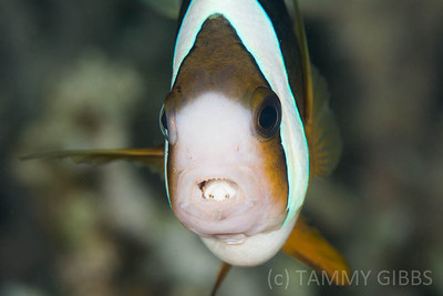 Clark's Anemonefish with isopod parasite