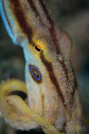 Mototi or Poison Ocellate Octopus