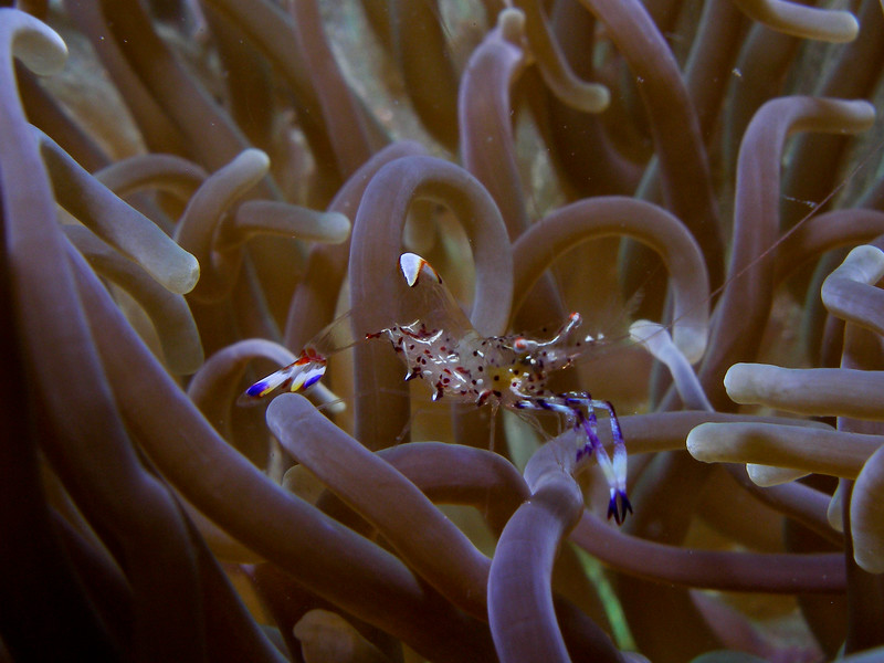 Shrimp in Anemone