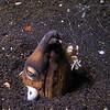 Cleaner Shrimp on Snake Eel