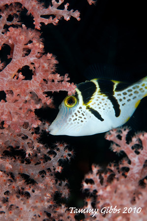 Black saddled toby eating soft coral