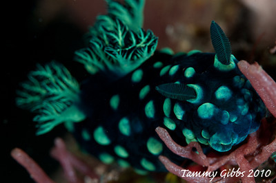 Nudi on the Liberty Wreck