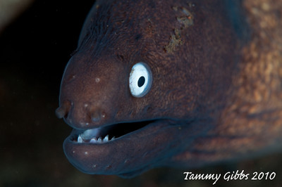 White eyed moray