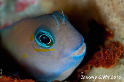 A cute blenny