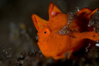 Tiny red frogfish