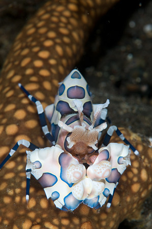 Harlequin shrimp eating a sea star