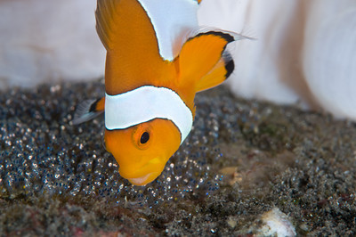 Clownfish guarding her eggs