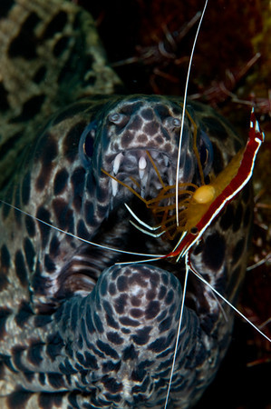 Honeycomb moray with cleaner shrimp
