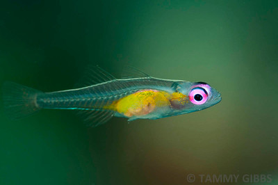 Red eye hovering goby