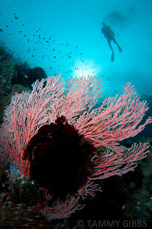 Seafan, crinoid and diver