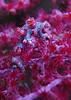 Pygmy seahorse