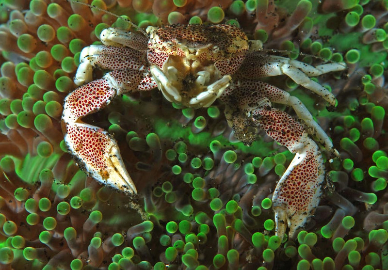 Porcelain crab on anemone.