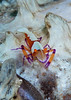 Emperor shrimp on flamboyant cuttlefish