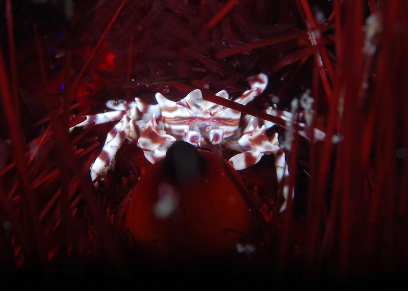 Crab on urchin. Tucked into the painful and poisonous spines of its host sea urchin, this tiny crab is protected from predators, and free to dine on the detritus that collects on its host.