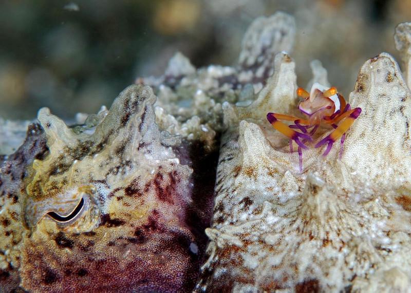 Emperor Shrimp on flamboyant cuttlefish