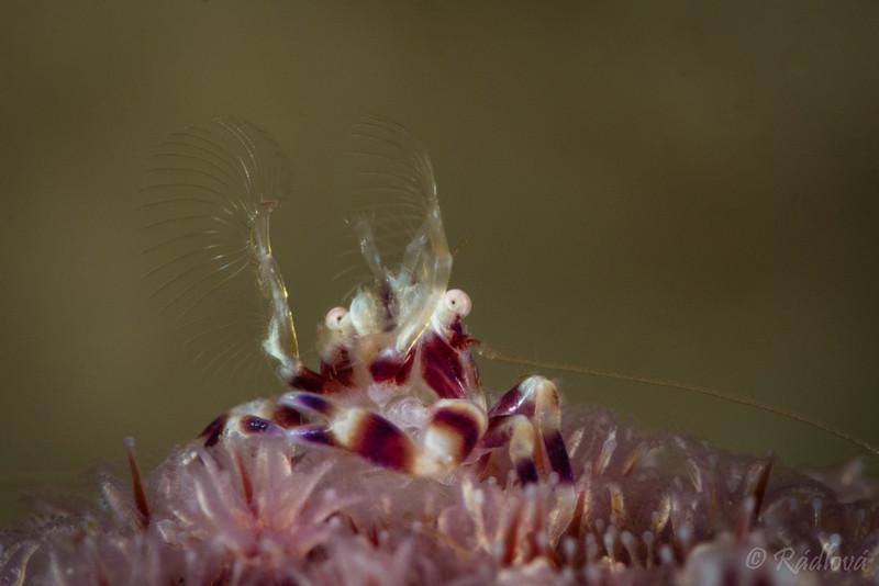 Porcelain Crab <i>(Lissoporcellana sp.)<i></i></i>