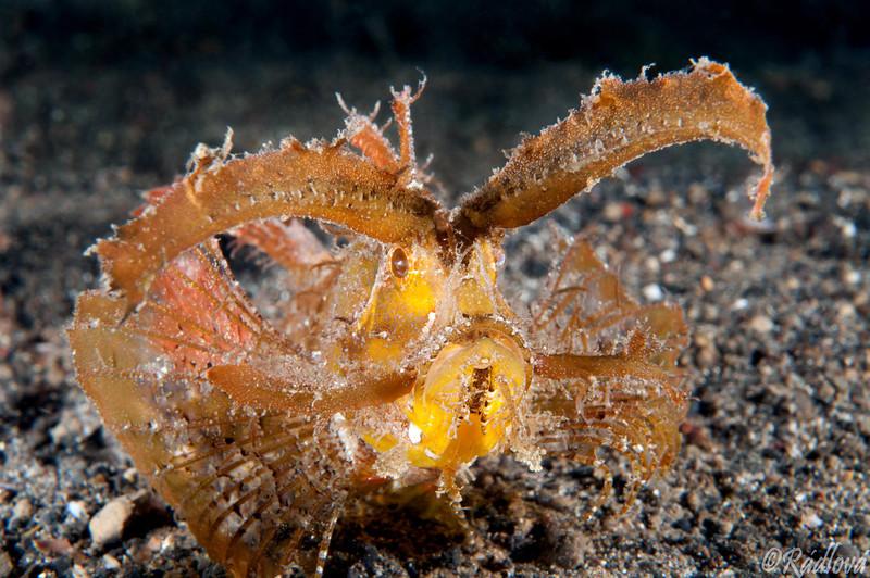 Ambon Scorpionfish <I>(Pteroidichthys amboinensis)<I/>