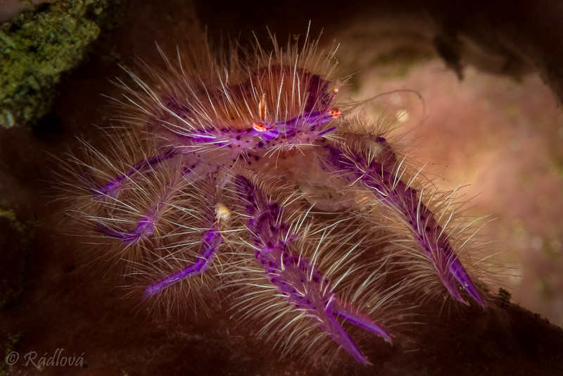 Hairy Squat Lobster <i>(Lauriea saigiani)<i></i></i>