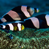 Saddleback Anemonefish & Threespot Dascyllus